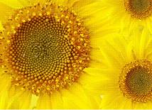 sunflowersbg3