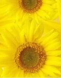 sunflowersbg4